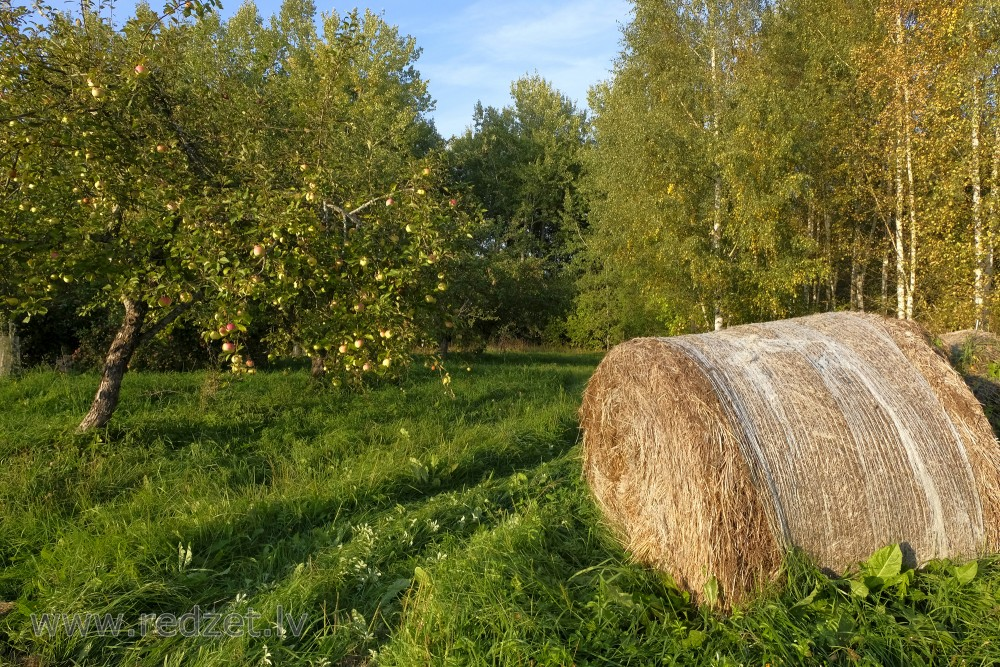 Round Bale and Apple Tree