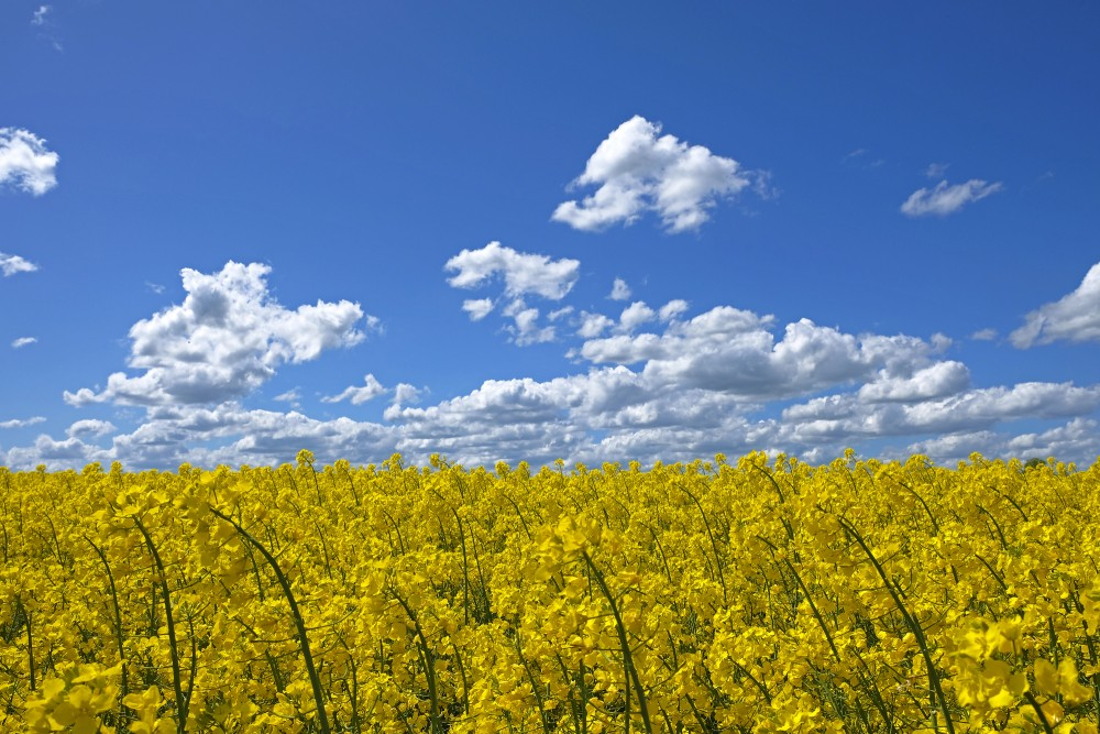 Flowering Rape Field and Clouds