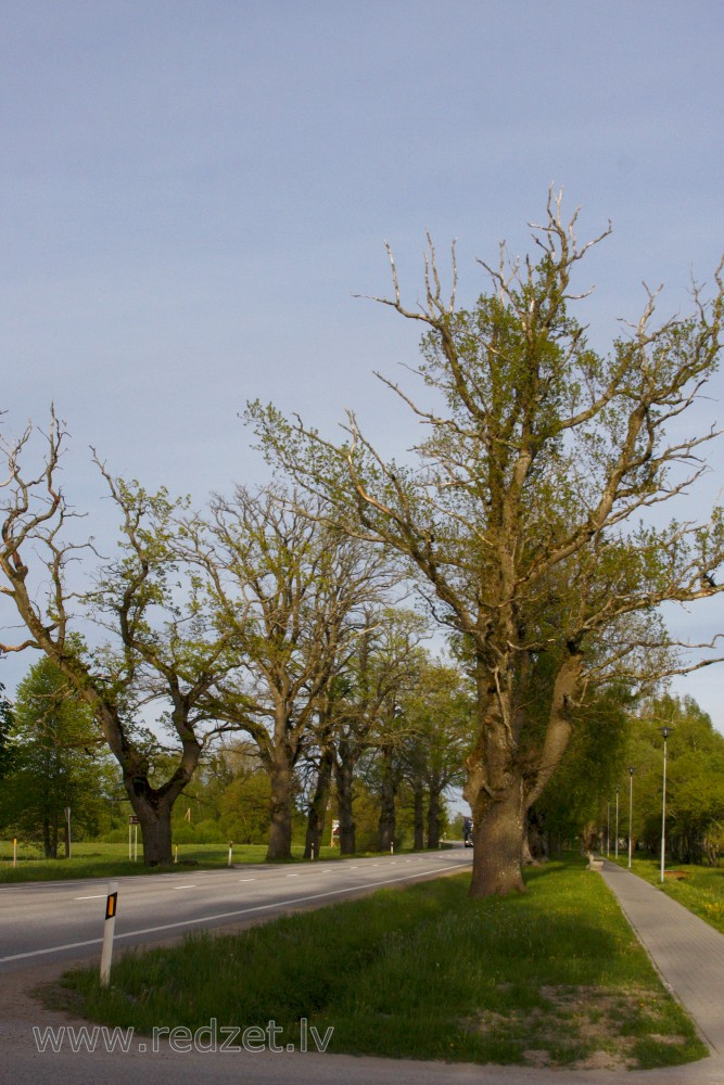 Avenue trees in spring