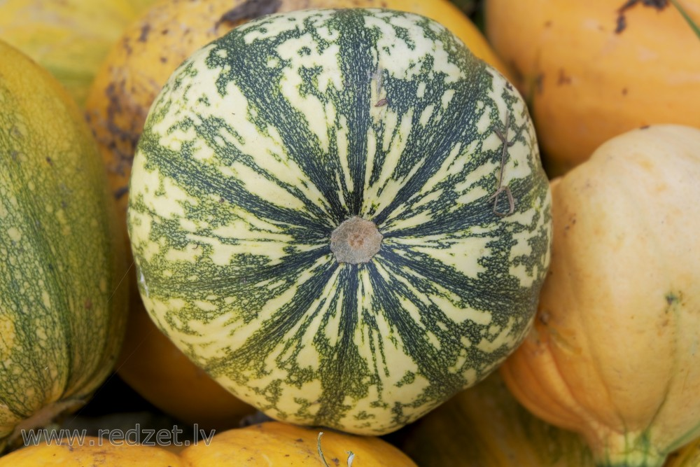 Variegated pumpkin
