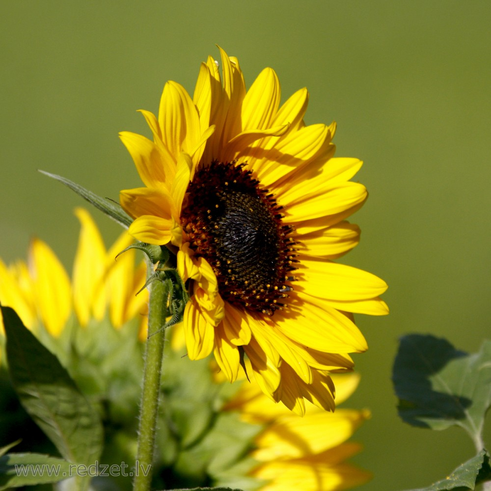 11 Asymmetrical Sunflower
