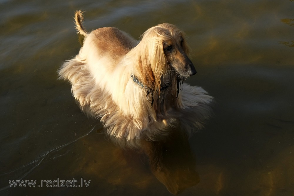 Afghan Hound in Water