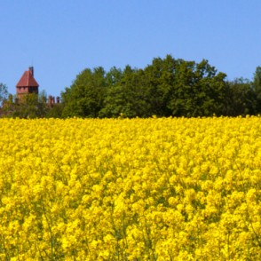 Canola - Fields of Gold