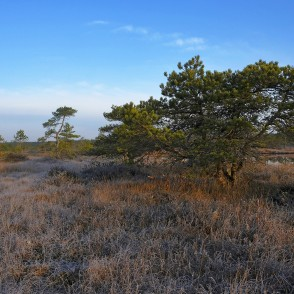 Pines In Great Ķemeri Bog