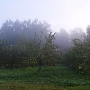 Apple garden in the foggy morning