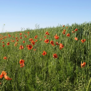 Poppies At The Cereal Field