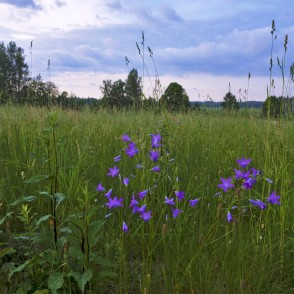 Meadow and Spreading Bellflower