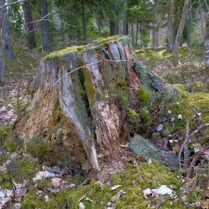 Rotten Tree Stump