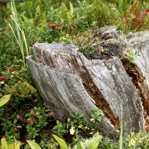 Tree stump and Lingonberry