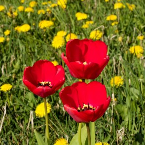 Red Tulips in Dandelion Field