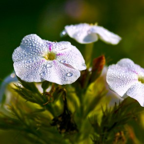 Phlox flower in drops of morning dew