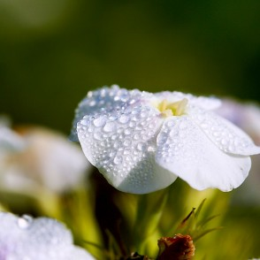 Dew On The garden phlox