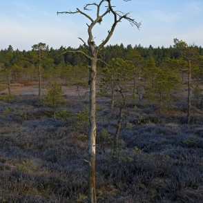 Dead Pine On The Ķemeri Bog