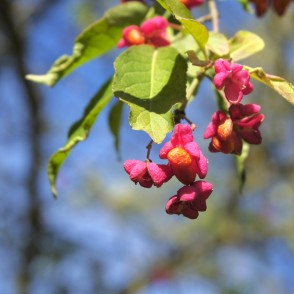 European spindle fruits