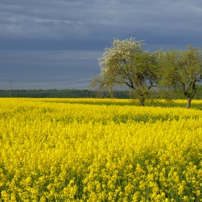Flowering Rape Field and Apple trees
