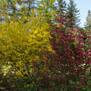 Redflower currant and Forsythia in Full Bloom