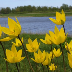 Woodland Tulips in Lielupe Floodland Meadows