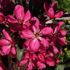 Close up of Ruby Red Ornamental Apple Flowers