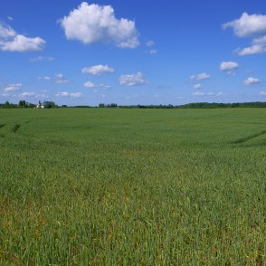 Wheat Field Landscape In Early Summer