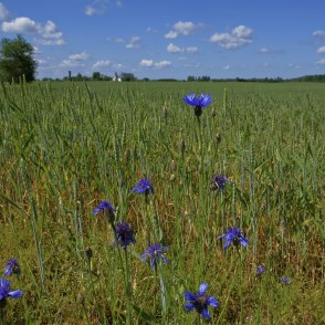Cornflowers in Wheat Field