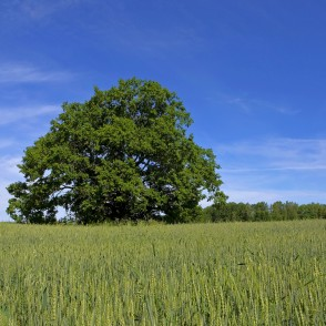 Oak In The Wheat Field