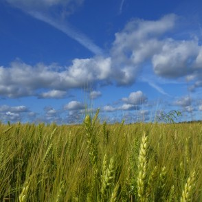 Barley Field And Cumulus Cloud