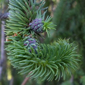 Spruce Gall Adelgids On Spruce Branch