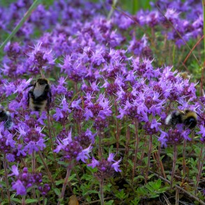 Breckland Thyme (Breckland Wild Thyme, Wild Thyme, Creeping Thyme, or Elfin Thyme) and Gypsy's Cuckoo Bumblebees