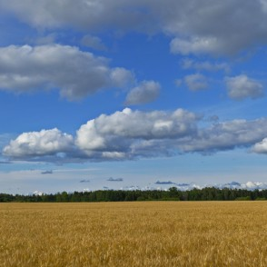 Barley Field Panorama