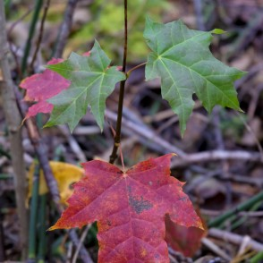 Small Maple in Autumn