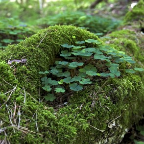 Wood sorrel and Moss on fallen tree trunk