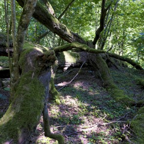 A Rotten Tree on Jāņupīte Nature Trail
