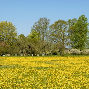 Dandelion Field and Orchard in Spring with Beehives