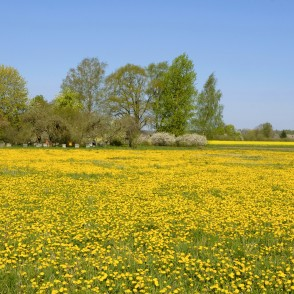 Dandelion Meadow, Flowering Orchard and Beehives