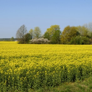 Rural Spring Landscape with Flowering Rape field