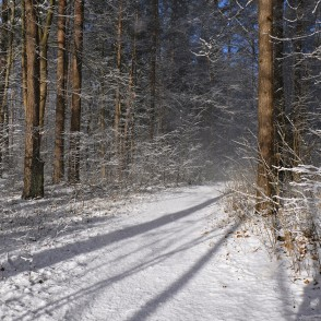 March Morning Winter Idyll in Ozolnieki Forest