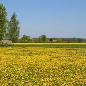 Spring Landscape with Flowering Dandelion Meadow and Rape Field