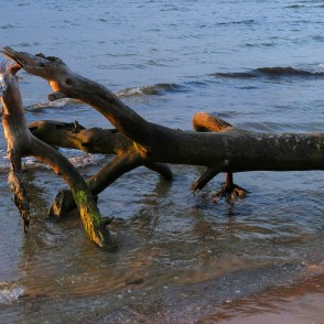Close up of a Fallen Tree on Coastline