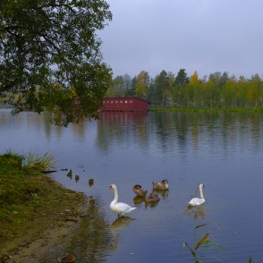 Landscape of Lake Aluksne and Mute swans