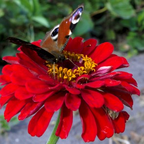 European peacock visits zinnia