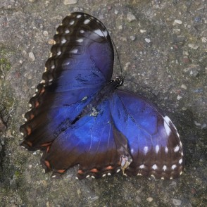 Peleides Blue Morpho or Emperor in UL Botanical Garden's Tropical Butterfly House