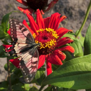 Damaged Old World swallowtail on Common zinnia