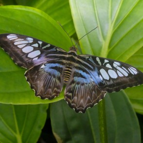 Clipper in UL Botanical Garden's Tropical Butterfly House