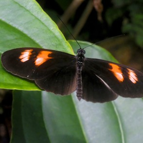 Postman Butterfly in UL Botanical Garden's Tropical Butterfly House