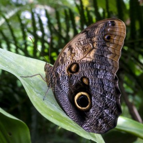 Giant Owl in UL Botanical Garden's Tropical Butterfly House