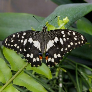 Lime Butterfly in UL Botanical Garden's Tropical Butterfly House