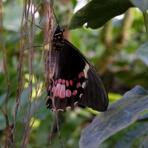 Swallowtail Butterfly in UL Botanical Garden's Tropical Butterfly House
