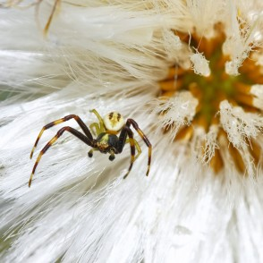 Spiders on Coltsfoot