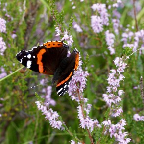 Red admiral on heathers