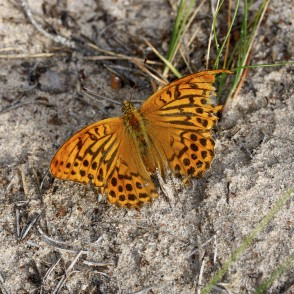 High brown fritillary with damaged wing